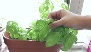 growing basil at home with an easy self watering planter with