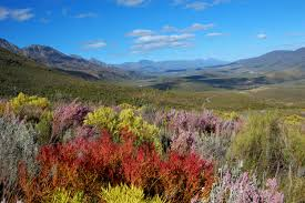 plants native to africa the vegetation is remarkably diverse featuring renosterveld