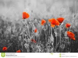 red poppy flowers for remembrance day stock photo image 43785797