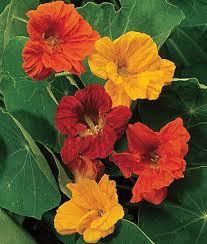 nasturtium flowers nasturtium seeds alaska mix empress of india flowers burpee
