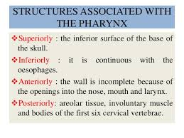 Nose Anatomy And Physiology Pharynx Anatomy And Physiology