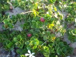 best 25 natal plum ideas on boxwood plant