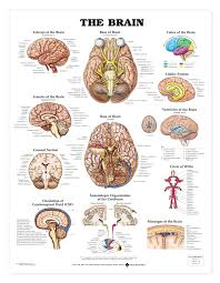 the brain anatomical chart brain brain anatomy and anatomy
