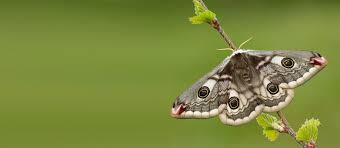 butterfly conservation moth auction