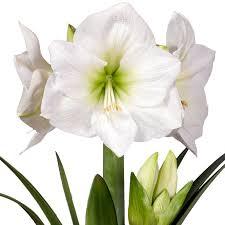 amaryllis christmas gift with ceramic pot buy amaryllis bulbs