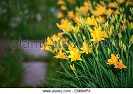 Yellow Lilies Yellow Lily Flower Lilium Garden Kent Uk Stock Photo Royalty