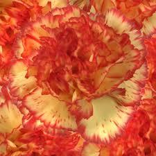 bulk carnations and bulk carnations