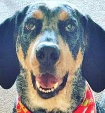 bluetick coonhound in florida bluetick coonhound dog for adoption in sanderson fl adn 515977