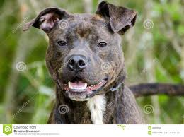 american pitbull terrier merchandise brindle american pitbull terrier dog stock photo image 84078865