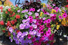 immagini di giardini fioriti concorso ceresole in fiore balconi e giardini fioriti comune