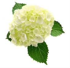 hydrangea white mini white hydrangea hydrangea flowers and fillers flowers