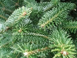 tree fraser fir tree only pots plants