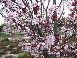 the 2 minute gardener photo purple leaf plum tree prunus