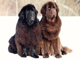 belgian shepherd newfoundland mix astounding facts about dogs we bet you were unaware of