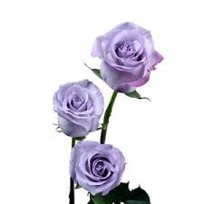 lavender roses purple lavender roses pack of 100 stems ifloral
