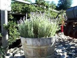 wine barrel gardens lavender mov youtube