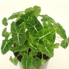 mikebiotech product categories ornamental foliage plant