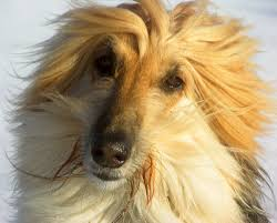 afghan hound black hair afghan hound dogs breeds pets