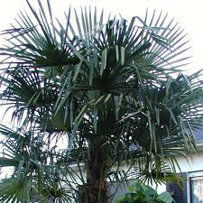 palm trees for sale nature nursery