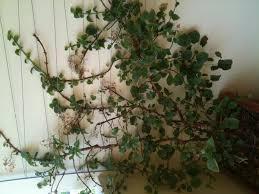 potare le ortensie in vaso potare ortensie hydrangea macrophylla potatura