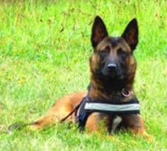 belgian malinois rescue va belgian malinois dutch shepherd puppies in hoobly classifieds
