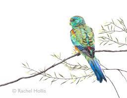 mulga parrot original artwork 9 x 12