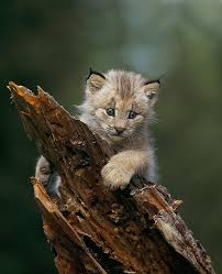 Montana wild animals images 30 best lynx images wild animals cats and lynx jpg