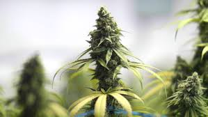 pan down from indoor marijuana plants to bud on top of plant stock