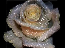 silver roses r o s e s for l o v e i want to their poetry story