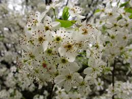 tree with white flowers white pear flowers macro tree trees free nature pictures by