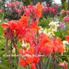 Canna Lily Canna Lily Canna U0027verdi U0027 In The Cannas Database Garden Org