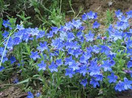 Fall Flowers Lithodora File Lithodora Diffusa Heavenly Blue Perennial Spring