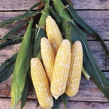 bicolor mirai 301bc corn seeds from park seed