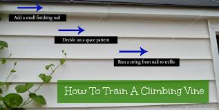how to train a climbing vine on a trellis exquisitely unremarkable