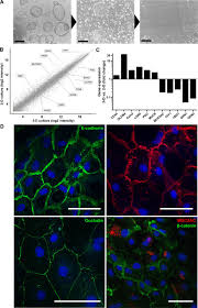 a novel human gastric primary cell culture system for modelling
