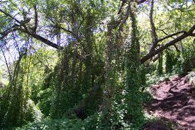 non native invasive plants invasive species in california state parks