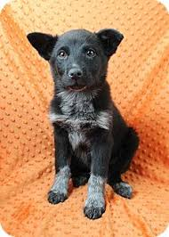 australian shepherd puppies rescue nairobi adopted puppy westminster co australian shepherd