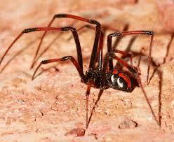 northern black widow michigan spiders