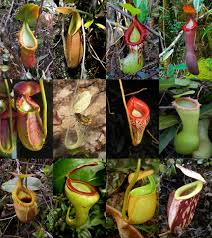 inside the mysterious world of carnivorous plants pitfall traps
