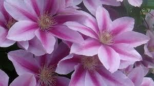 Flower Screen Backgrounds - bb99cc color wallpapers flower purple macro hydrangeas wallpaper