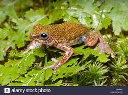 reed frog hyperolius guttulatus sitting on a leaf stock photo
