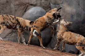 Oregon wild animals images African wild dog oregon zoo jpg