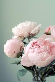 Pink Peonies Nursery 9 Lessons In Growing The Perfect Peonies