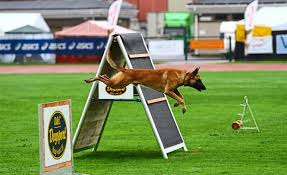 belgian shepherd malaysia team malaysia bags fourth place at prestigious dog championship