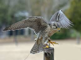 what does wood symbolize falcon symbolism your animal guide spirit animal totems