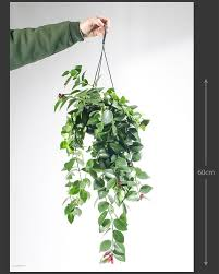 index of houseplants latin names and light requirements buy