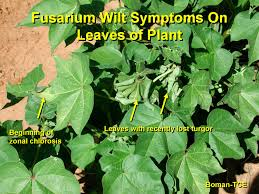 Plant Diseases With Pictures - cotton disease photos