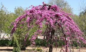weeping cercis lavender twist perth wa garden centre