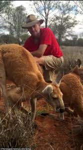 Roger A Barnes Roger The Muscly Kangaroo Is Suffering From Arthritis In The Alice