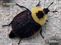 north american beetle insects